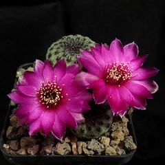 """Sulcorebutia rauschii """"green form"""" '421' (Pequenos Electrodomésticos) Tags: cactus cacto flower flor sulcorebutia sulcorebutiarauschiigreenform sulcorebutiarauschii"""