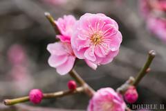Ume blossoms at Nagaoka Tenmangu shinto shrine 2017.3 (9) (double-h) Tags: omd em10markii omdem10markii mzuikodigitaled60mmf28macro nagaokatenmangu shintoshrine shrine nagaokatenjin nagaokakyo nagaokakyocity kyoto 長岡天満宮 神社 長岡天神 長岡京 長岡京市 京都 ume umeblossom blossom flower japaneseapricot prunusmume plumblossom umetree 梅 ウメ 花 梅林