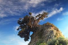 Pohutukawa Tree - Coromandel (angus clyne) Tags: pohutukawa tree coromandel new zealand sea dawn rock cliff photoshopedtofuck