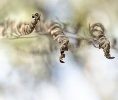 fern (marianna_a.) Tags: fern leaf dry macro bokeh hbw florida curled weathered abstract mariannaarmata