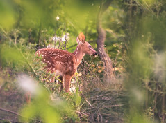 Are You An Ethical Nature Photographer? (TCSTECHNews) Tags: canada kawarthalakes kawarthas ontario yourstodiscover baby babyanimal cottage cottagecountry cottagelife deer fawn forest morning nature spotted summer sunrise whitetaileddeer wildanimal wildlife