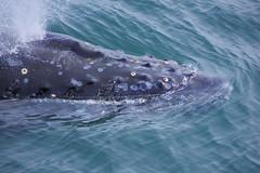 Humpback Whale (Johninns) Tags: novascotia pentax sigma whale atlanticocean k3 sigma55200dc
