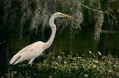 Egret #14 (Chris Laforêt) Tags: fishing swamps lousiana egret waterways nikond800e sigmabigos