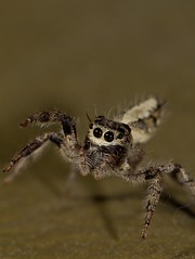 Jumping Spider (Joshua Daskin) Tags: africa macro closeup canon spider arachnid laboratory mozambique gorongosa
