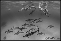 The pod in black and white (bodiver) Tags: reflection hawaii blackwhite ambientlight wideangle snorkeling freediving dolphins kona fins naia kailua