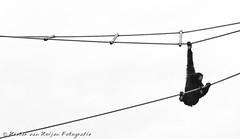 Monkey play (PvRFotografie) Tags: blackandwhite holland nature monochrome animal animals zoo monkey blackwhite zwartwit nederland natuur dieren dier aap burgerszoo dierentuin sony70200mmf28g sonyslta99