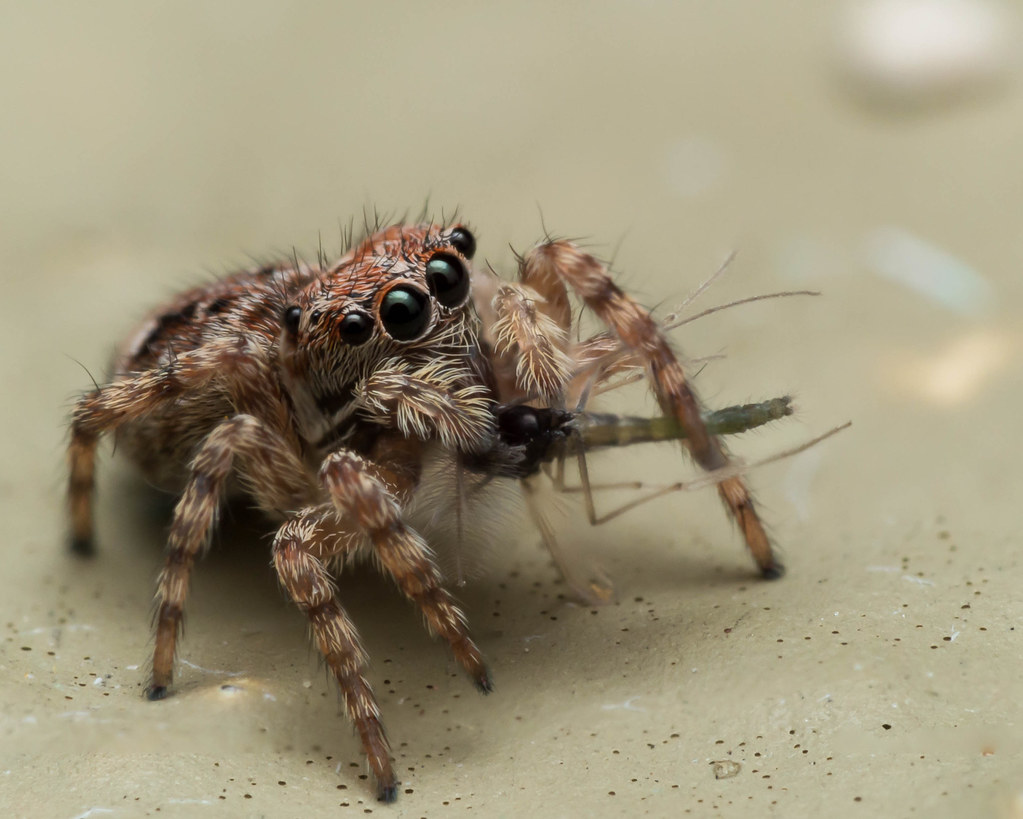 the world 39 s best photos of feeding and salticidae flickr. Black Bedroom Furniture Sets. Home Design Ideas