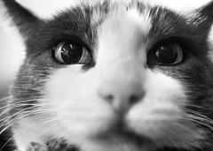 Extreme Closeup Kitty (Manol Z. Manolov) Tags: portrait blackandwhite bw eye animal cat nose grainy