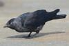 Jackdaw (Shane Jones) Tags: black bird nikon corvid jackdaw 200400vr d7000