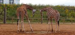 IMG_0496 (laufar1) Tags: reflection animal zoo giraffe ywp yorkshirewildlifepark