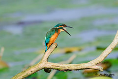 Kingfisher (a3aanw) Tags: bird kingfisher vogel ijsvogel westphil