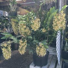 Epidendrum raniferum (cieneguitan) Tags: flower flora species orkid okid angrek anggerek