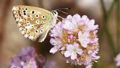 Argus bleu /Common blue/Explored (Trevi971(Amateur !)) Tags: papillon commonblue azur argusbleu azurdelabugranne