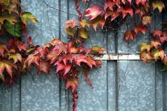 Quand la beauté s'accroche partout (Nadia (no awards please !)) Tags: autumn red fall leaves automne rouge bourgogne métal feuilles portail 40ansfanny