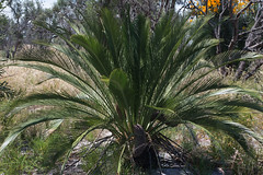Macrozamia fraseri 2 (brundrett) Tags: winter orange yellow spring cone shrub cycad