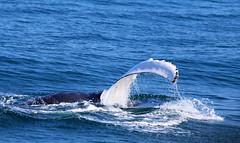 Whale watching, Husavik #1 (fabrizioboni00) Tags: sea ice animal animals island iceland mare whale whales husavik balene ghiaccio islanda balena whalewhatching balenottero balenottera megattera
