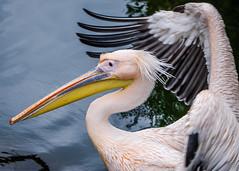 Pelican 4 (Esther Kluth) Tags: zoo stuttgart wilhelma 2015