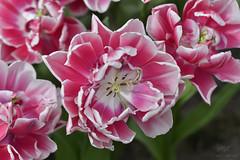 Pretty in pink (mario.haufe2) Tags: pink flower macro nature bulb bokeh tulip keukenhof lisse
