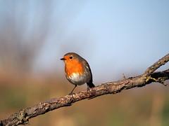 robin...pettirosso (quarzonero ...Aldo A...) Tags: bird robin pettirosso coth passeriforme bej coth5 sunrays5