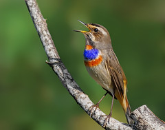 Bluethroat (Luscinia svecica (Linnaeus, 1758)) (Cyprus Bird Watching Tours - BIRD is the WORD) Tags: cyprusbirdingtours cyprusbirdwatchingtours bird nature flickr canon cyprus colour color sunny bright wildlife chat cyprusbirds cyprusbirding cyprusbirdwatching cyprusguidedtours birdmigration europeanbirds bluethroat singing birdsinging paphos colourful ecotours cyprusecotours cyprussafari safari highquality birding birdwatching nois noimagestabilizer handheld birdingtourscyprus birdwatchingtourscyprus animal outdoor professionalphotography westernpalearctic nationalgeographic bbcearth birdwatch rspb birdlifeinternational twitch art ethicalphotography