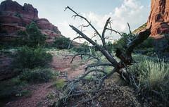 Fallen Branches, Sedona. (Matt Benton) Tags: arizona 35mm sedona zeissikon portra colournegative voigtlandersuperwideheliar15mmf45 trip2015