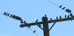Bird Gang (Kaptured by Kala) Tags: nature gang teenagers telephonepole telephonewires noisy starlings whiterocklake dallastexas juveniles winfreypoint juvenilestarlings juvenileeuropeanstarlings gangofbirds