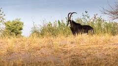 20151106_Savuti_0081.jpg (eLiL1860) Tags: botswana sableantilope tierwelt safari2015