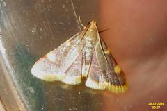 Gold triangle (sw) (davidshort) Tags: 2016 goldtriangle hypsopygiacostalis zavíječsenomilný zavíječžlutoskvrnný vijačkasenová szénailonca