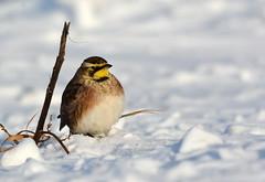 Horned Lark 2 (jayrand1975) Tags: lark bird hornedlark