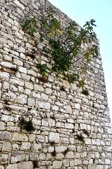DSC_10245 (jhk&alk) Tags: italia italy sicilia sicily erice figtree