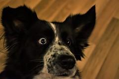 Heterochromia (Francesca Ricci Nature & Life) Tags: dog dogs eye eyes blue brown ice heterochromia animal animals pet pets beautiful bordercollie collie