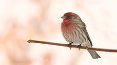 Roselin familier / House Finch (Alain Daigle) Tags: roselinfamilier housefinch
