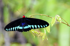 Palawan Birdwing (Trogonoptera trojana) (Chris Chafer Thanks for 1.5M views & comments) Tags: palawanbirdwing trogonopteratrojana palawan explored explore