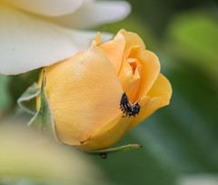 This Rose has a Friend. (Omygodtom) Tags: yellow rose flickr garden flower macro macromonday tamron90mm tamron ladybug outdoors nature nikon d7100