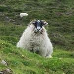 Face à face avec un local, les Quiraings,  péninsule de Trotternish, île de Skye, Ross and Cromarty, Highland, Ecosse, Royaume-Uni. thumbnail