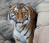 Striped Beauty (greekgal.esm) Tags: malayantiger tiger bigcat cat feline animal mammal carnivore efbc exoticfelinebreedingcompound felineconservationcenter wildcatzoo thecathouse rosamond kerncounty antelopevalley california sony rx10m3 batari