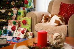 Watching Over Angels (rlgidbiz1) Tags: merrychristmas brittanyspaniel tree presents angels winter dog love