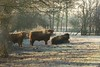 Early morning Highland cattle (Steven Whitehead) Tags: highland cattle wildlife nature frost morning earlymorning earlymorningsun sun 2017 morningsun fur feeding 100400mm canon5dmk3 canon fishing fields
