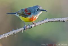 gould's sunbird (aethopyga gouldiae) (punkbirdr) Tags: kusmin nikon d500 500mmedafsif4 tc14eii14x thailand punkbirdrphoto sunbird gouldssunbird aethopygagouldiae