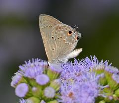 Mallow Scrub-Hairstreak (Lejun40) Tags: mallow scrubhairstreak butterfly texas national center
