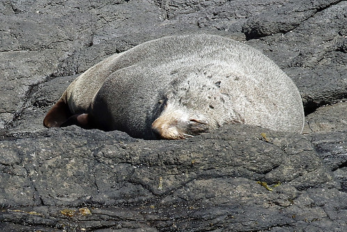 New Zealand Fur Seal (f)