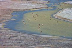 Krill hunting. (david takes photos) Tags: losflamencosnationalreserve reservanacionallosflamencos salardepujsa atacama chile flamingo flamingoes sanpedrodeatacama regióndeantofagasta x