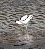 Muddy Footed Avocet! (RiverCrouchWalker) Tags: recurvirostraavosetta avocet piedavocet bird maldon essex riverblackwater lowtide feeding january 2017 winter