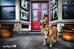 3/52 - Yes, we can...we still believe (yookyland) Tags: 52weeksfordogs misty 2017 352 dog inauguration2017 obama tribute cafe red door