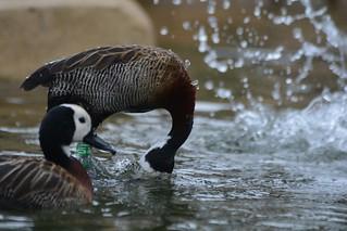 Witwenpfeifgänse im Zoo Antwerpen