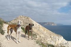 A Walk Along the Coast (farahleon) Tags: lasnegras farah lurcher leon galgo galgoespanol andalusia