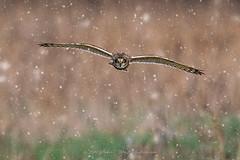 SEO in snow  Explore 2-5-2017 (ThruKurtsLens.com (Kurt Wecker)) Tags: flying kurtwecker nature naturephotographer nikon thrukurtslenscom wildlife wildlifephotographer winter