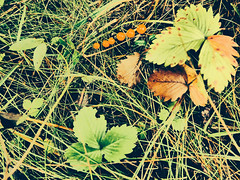 image (strutt_anneli) Tags: finland suomi tampere forest pyynikki metsa autumn syksy marja berry punainen vihrea red green