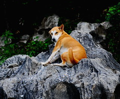 ,, Pumpkin ,, (Jon in Thailand) Tags: pumpkin dog k9 jungle happydog funnydog rock nikon d300 nikkor 175528 thankyou smile ears nose tail paws boulder shy