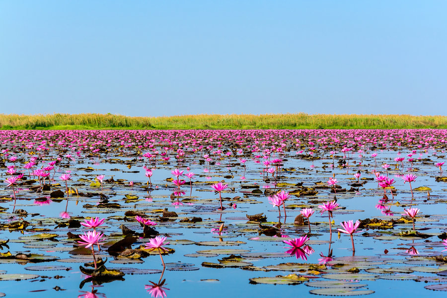 The Red Lotus Sea is a natural attraction that it is home to millions of lotus flowers